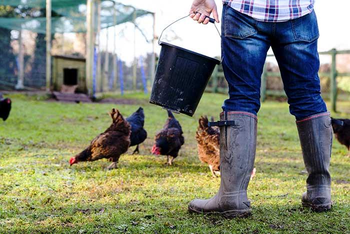 Feeding Chickens Marcus Bean